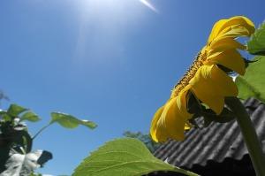 Sunflower_sun_heaven
