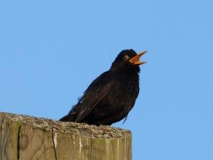 Bird_singing