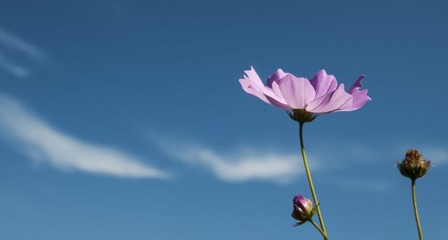 cosmos_flower_budding