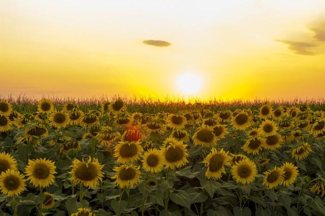 sunflowers_field_sun