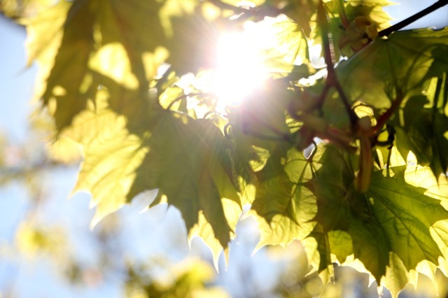 sun_light_leaves