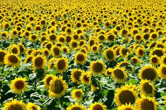 summer_sunflowers