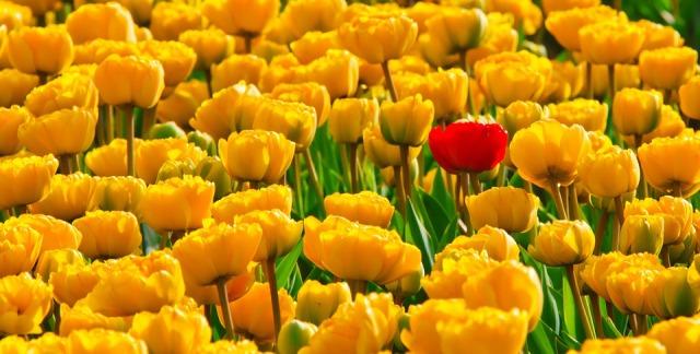 tulips_yellow_red
