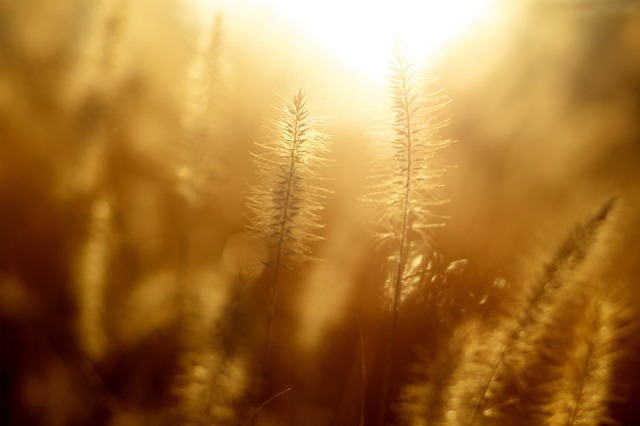 sunshine_hazy_wheat