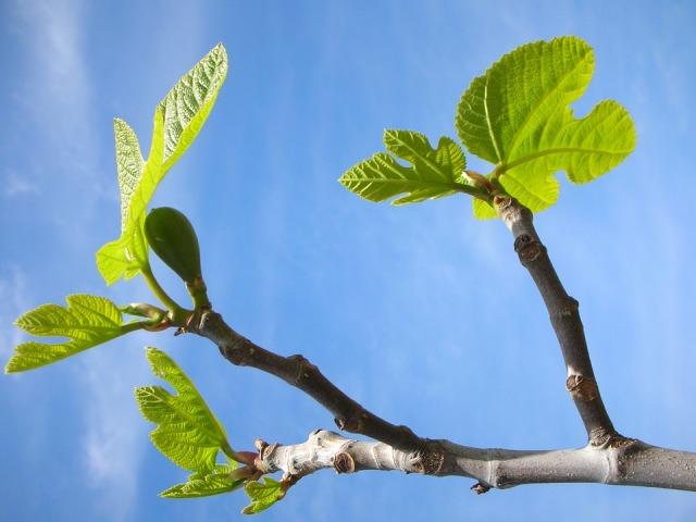 figs_leaves_sky