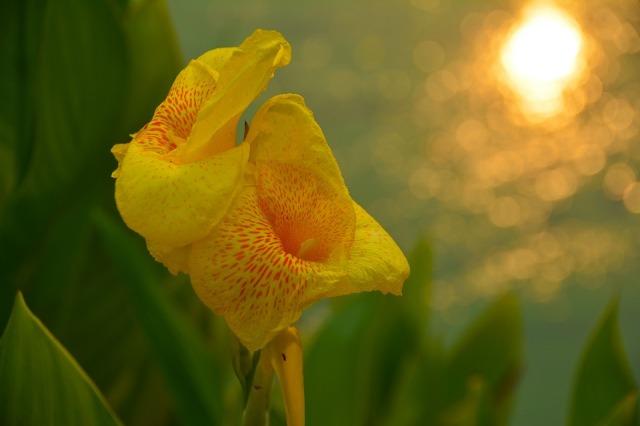 flower_yellow_sun