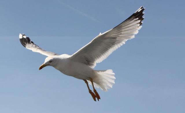 seagull_flying_bluesky