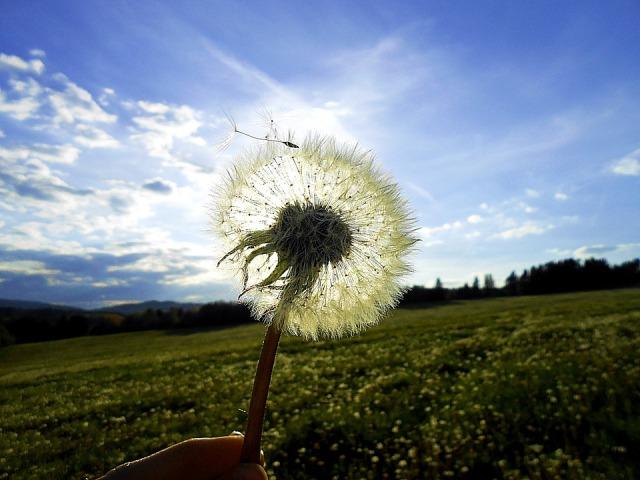 dandelion_field_sky