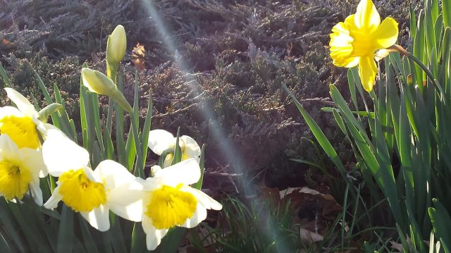 Flowers_rayofsun