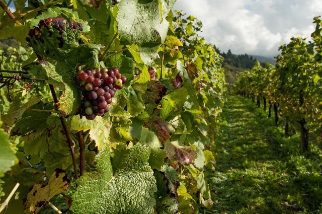 Vineyard_grapes_leaves