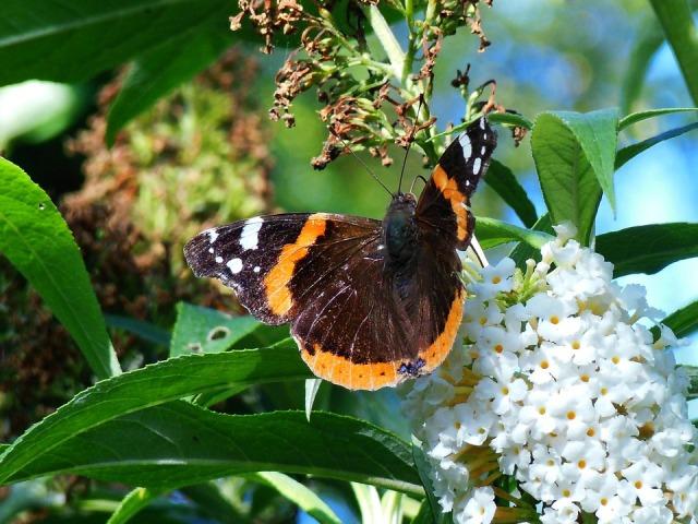 butterfly_budding