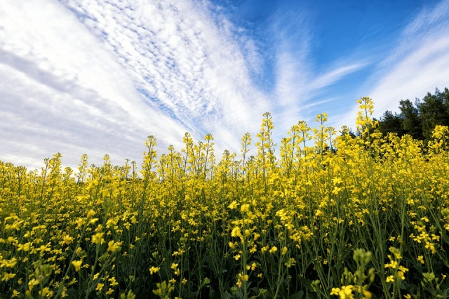 mustard_plants