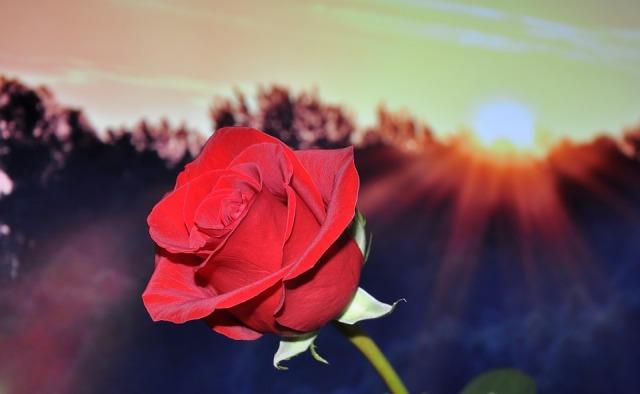 rose_sun_trees