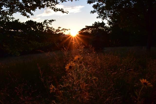 sunset_field_daisies